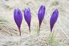 Flores roxas da mola na grama seca Fotos de Stock Royalty Free
