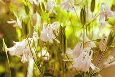 Flores roxas da mola no jardim Fotografia de Stock