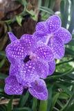 Flores roxas da orquídea Fotografia de Stock Royalty Free