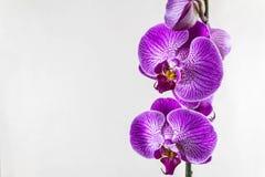 Flores roxas da orquídea em um fundo cinzento Molde bonito para seu projeto com espaço para um texto imagens de stock
