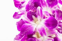 Flores roxas da orquídea no fundo branco Fotos de Stock