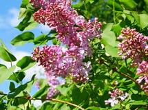 Flores roxas da seringa Imagem de Stock Royalty Free