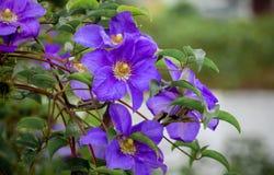Flores roxas das clematites no jardim no background_ obscuro fotos de stock royalty free