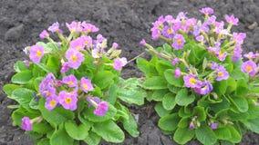 Flores roxas das violetas no jardim vídeos de arquivo