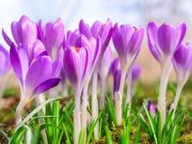 Flores roxas de florescência do açafrão da mola bonita Fotografia de Stock