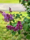 Flores roxas de florescência pequenas da borboleta no bosque do carvalho fotos de stock royalty free