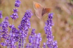 Flores roxas de floresc?ncia da alfazema e grama verde nos prados ou nos campos Borboleta obscura no ver?o noite fotografia de stock