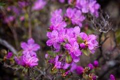 flores roxas de uma pintura mural do arbusto fotografia de stock