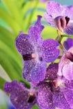 Flores roxas de Vanda da orquídea Foto de Stock Royalty Free