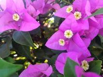 Flores roxas do ฺBougainvillea Foto de Stock