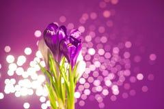 Flores roxas do açafrão Imagem de Stock Royalty Free