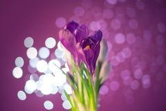 Flores roxas do açafrão Imagem de Stock