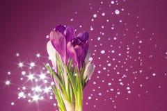 Flores roxas do açafrão Imagens de Stock Royalty Free