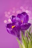 Flores roxas do açafrão Fotos de Stock