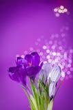 Flores roxas do açafrão Fotografia de Stock