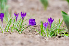 Flores roxas do açafrão Imagens de Stock