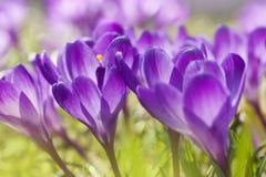 Flores roxas do açafrão da mola Fotografia de Stock