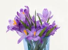 Flores roxas do açafrão da mola Imagens de Stock Royalty Free