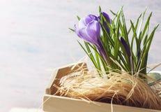 Flores roxas do açafrão da mola Fotos de Stock