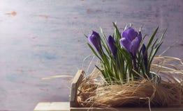Flores roxas do açafrão da mola Imagem de Stock Royalty Free