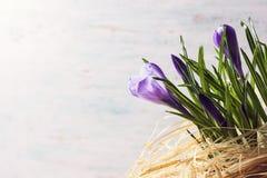 Flores roxas do açafrão da mola Foto de Stock