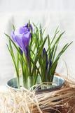 Flores roxas do açafrão da mola Imagem de Stock