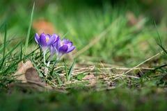 Flores roxas do açafrão da mola na grama verde Fotografia de Stock