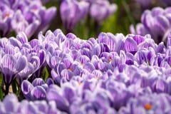 Flores roxas do açafrão da mola na grama verde Fotos de Stock Royalty Free