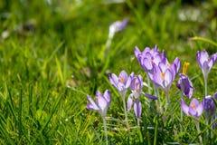 Flores roxas do açafrão da mola na grama verde Imagens de Stock