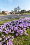 Flores roxas do açafrão da mola na grama verde Fotos de Stock