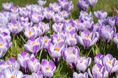 Flores roxas do açafrão da mola na grama verde Imagem de Stock Royalty Free