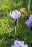 Flores roxas do açafrão da mola na grama verde Foto de Stock
