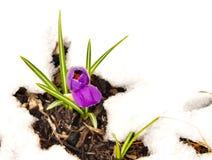 Flores roxas do açafrão e folhas do verde que emergem na neve Imagem de Stock