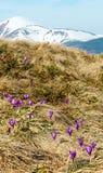 Flores roxas do açafrão em montanhas da mola Imagens de Stock Royalty Free
