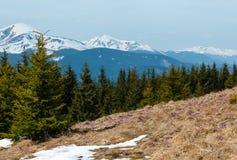 Flores roxas do açafrão em montanhas da mola Fotos de Stock