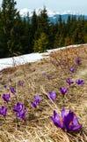Flores roxas do açafrão em montanhas da mola Imagem de Stock Royalty Free