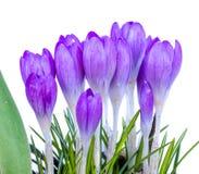 Flores roxas do açafrão em um fundo branco Imagem de Stock