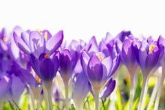 Flores roxas do açafrão, fundo da mola Imagens de Stock