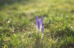 Flores roxas do açafrão na grama verde Fotografia de Stock Royalty Free