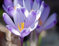 Flores roxas do açafrão na mola Imagem de Stock Royalty Free