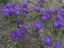 Flores roxas do açafrão na mola Imagem de Stock