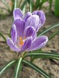 Flores roxas do açafrão na mola Fotos de Stock Royalty Free