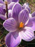 Flores roxas do açafrão na mola Fotografia de Stock