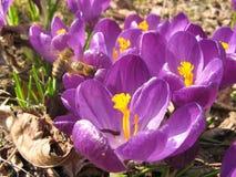 Flores roxas do açafrão na mola Imagens de Stock