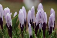 Flores roxas do açafrão na mola Foto de Stock