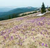 Flores roxas do açafrão na montanha da manhã da mola Fotografia de Stock Royalty Free