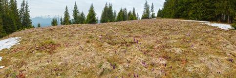 Flores roxas do açafrão na montanha da manhã da mola Imagem de Stock Royalty Free