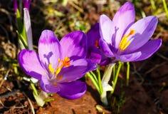 Flores roxas do açafrão na montanha da mola Fotografia de Stock