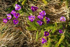 Flores roxas do açafrão na montanha da mola Foto de Stock