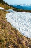 Flores roxas do açafrão na montanha da mola Foto de Stock Royalty Free